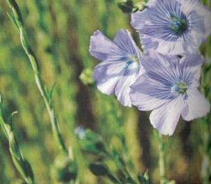 Jednodniowe kwiaty, czyli jak rośnie len